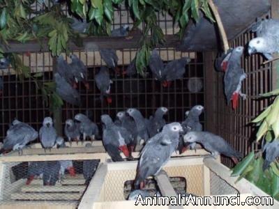 Fertile pappagallo uova e uccelli... 1