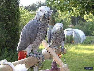 Fertile pappagallo uova e uccelli... 2