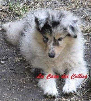 Cuccioli Collie Pastore Scozzese 3