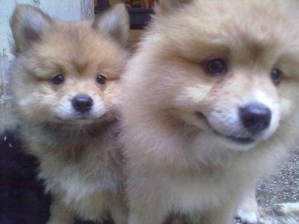 Cuccioli di pomerania bellissimi 1