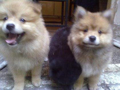 Cuccioli di pomerania bellissimi 2