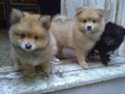 Cuccioli di pomerania bellissimi 3