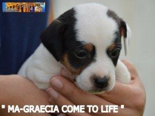 Cuccioli Jack Russell Terrier... 1