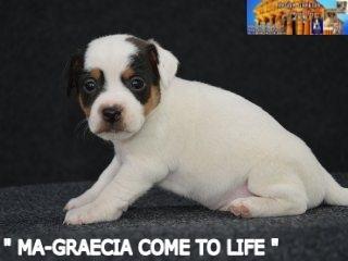 Cuccioli Jack Russell Terrier... 2