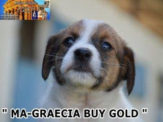 Cuccioli Jack Russell Terrier... 3
