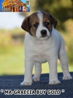 Cuccioli Jack Russell Terrier... 4