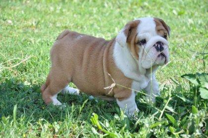 Regalo cuccioli di Bulldog Inglese... 3