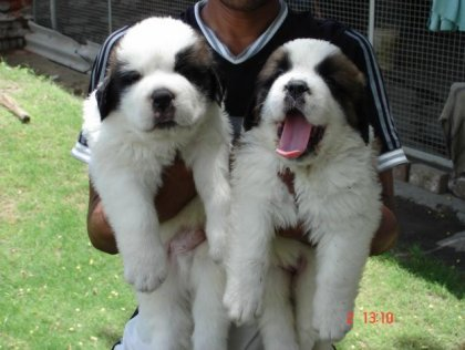 cuccioli di san bernardo