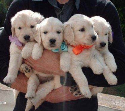 Stupendi Cuccioli Di Golden...