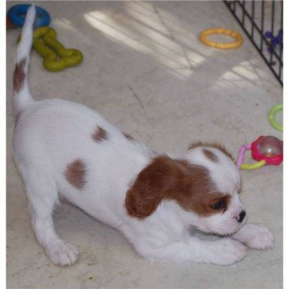 Cavalier King Charlse con il...