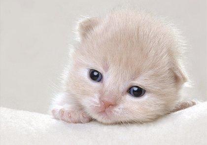 Gattini capelli corti britanniche...