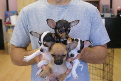Cuccioli dolce e bella chihuahua...
