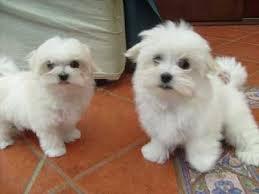 cuccioli maltese adorabile per casa... 1