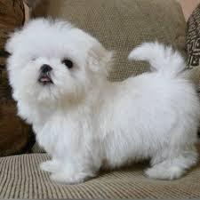 cuccioli maltese adorabile per casa... 2