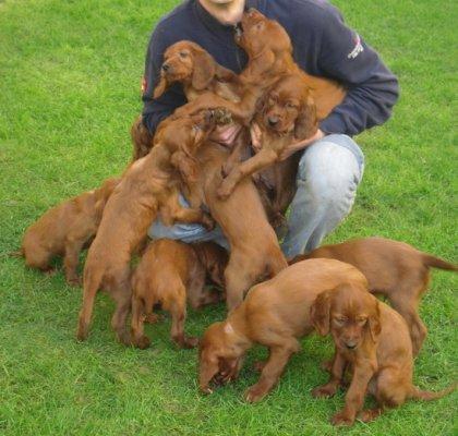 Prossimo evento cuccioli setter... 3