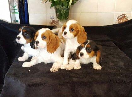 regalo cavalier king cuccioli...